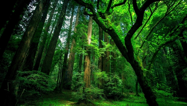 natural-green-forest-wallpaper